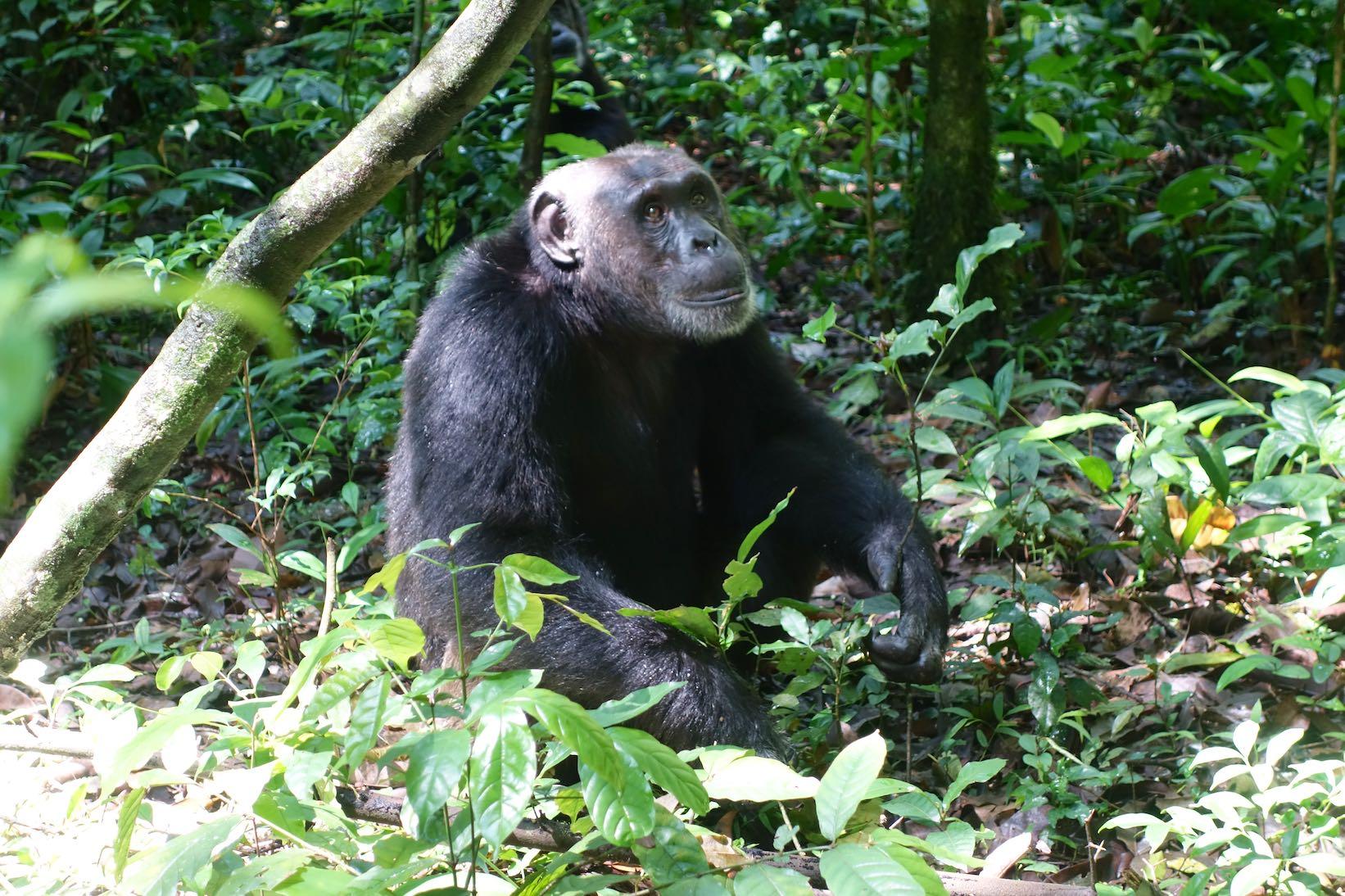 Die Schimpansen im Kibale National Park