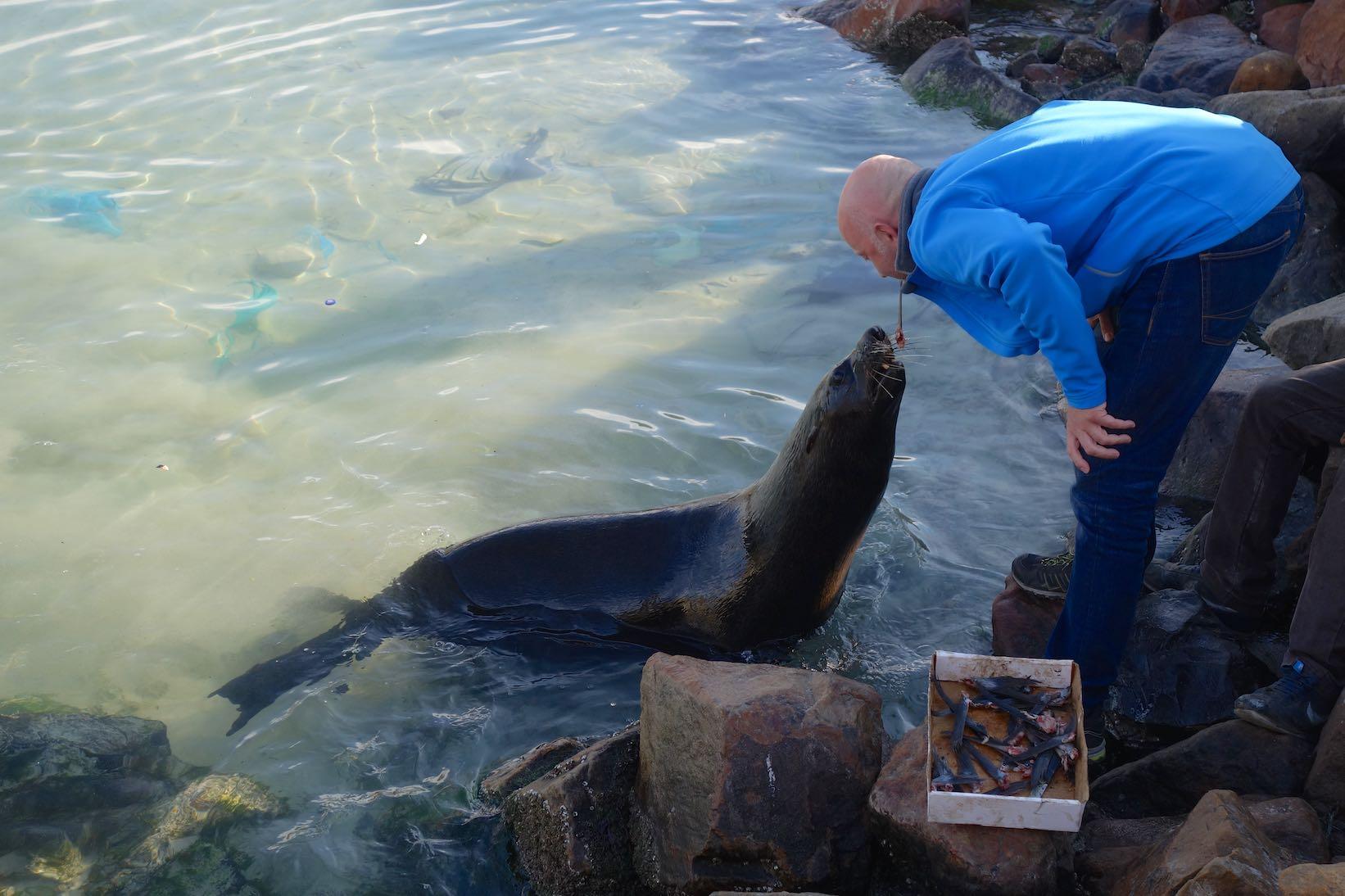 Seehundfütterung in Kapstadt