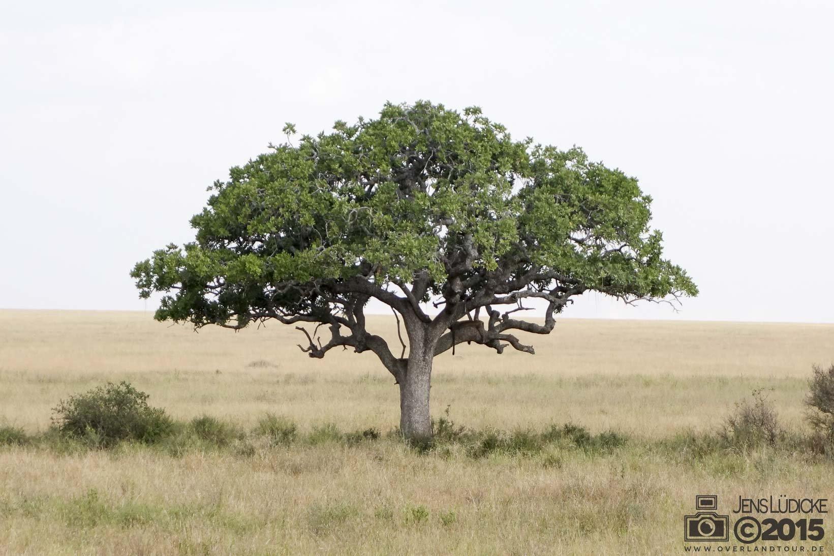 Hier liegt faul ein Leopad im Baum