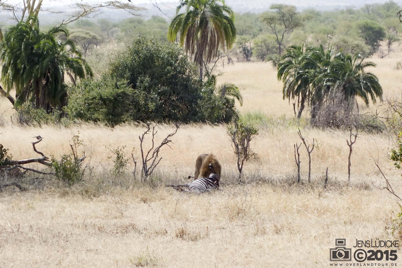 Ein Zebra zum Frühstück für Herrn Löwe