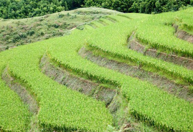 Die Reisfelder von Sa Pa