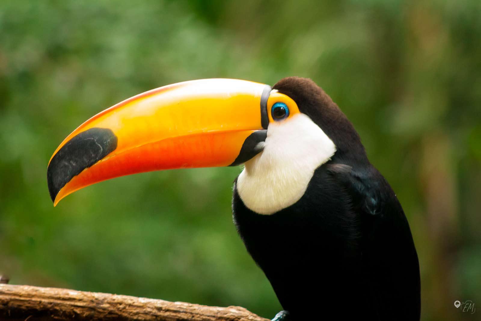 Den Tukan haben wir nicht nur im Vogelpark gesehen, sondern auch in den hohen Baumkronen der Bäume im Nationalpark!
