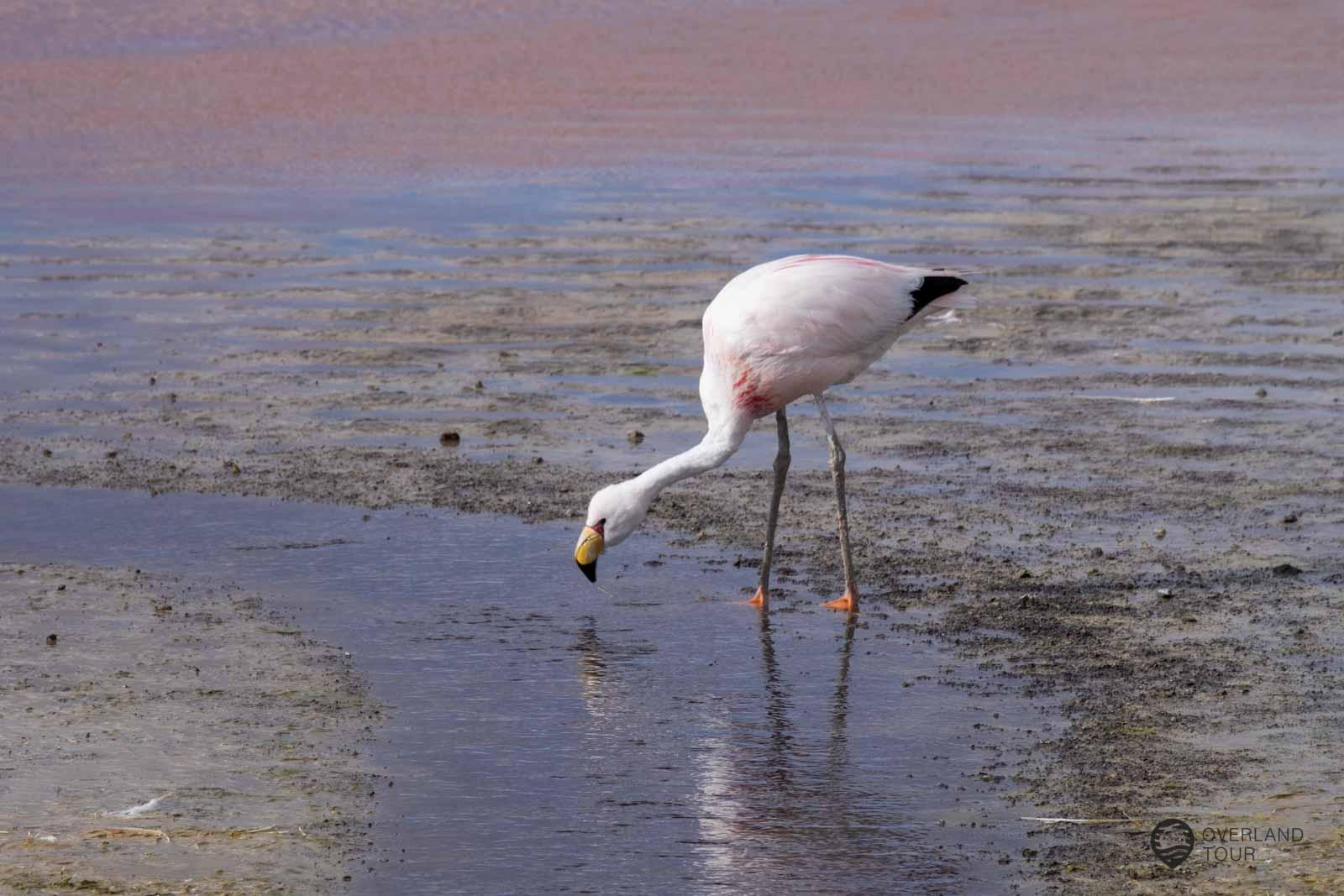 Die Laguna Colorada (Die Rote Lagune) mit ihrer traumhaften Landschaft und den Flamingos